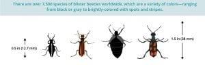 wart trearment catharidine derived from blister beetles